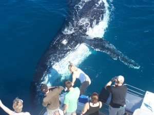 Hervey Bay's NUMBER ONE to watch whales!